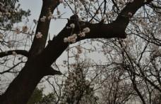 天坛杏树林