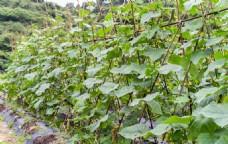 青瓜种植架