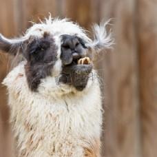 糟糕的一天--羊驼