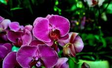 美丽的粉色蝴蝶兰图片