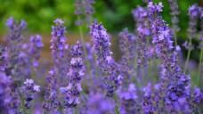 鲜艳紫色薰衣草图片