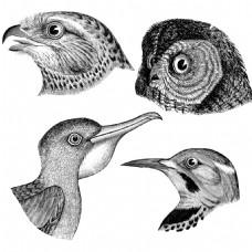 素描四种不同类型的鸟头老鹰猫头鹰