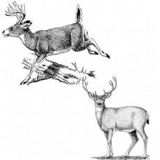素描绘画两只奔跑及站立警惕的鹿