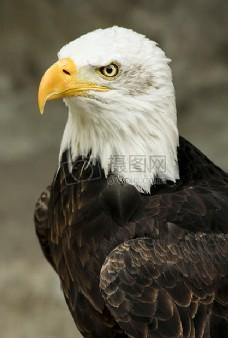 白色和棕色美国之鹰的微距拍摄