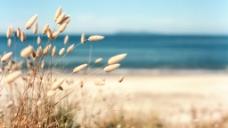 清新唯美芦苇海边大自然风景