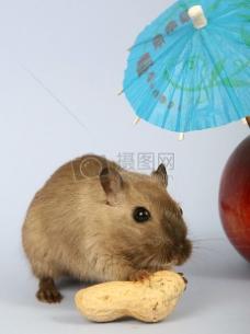 女性啮齿动物食物夏天伞下放松