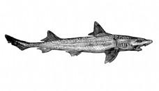 素描海洋动物鲨鱼