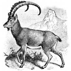 素描岩石山上的山羊