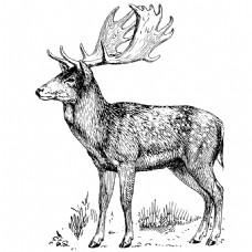 素描绘制草丛站立的鹿