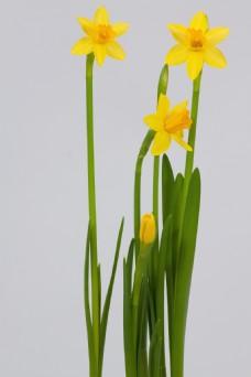 唯美黄色水仙花图片