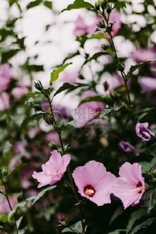 盛开的粉色花朵