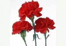 鲜艳红色康乃馨图片