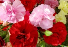 唯美彩色康乃馨图片