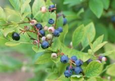 蓝莓高清素材图片