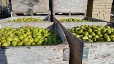 箱子里丰收的梨