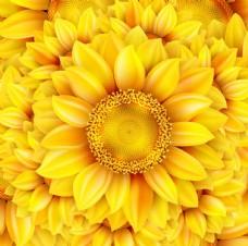 金黄色葵花
