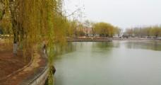 春雨中的柳树