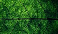 叶子纹理脉络