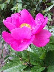 玫红牡丹花图片