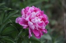 粉红色牡丹花图片