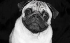 高清巴哥犬图片